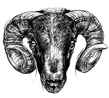 Ram Head Drawing line work. Illustration
