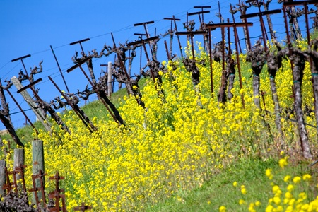 A grape vineyard on a hillside in Napa County, California with mustard grass in the spring.