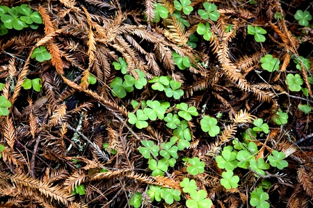 Detail of redwood forest floor with sorrel. Stock Photo