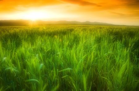 crops: Golden sun shining on a green wheat field in Northern California.