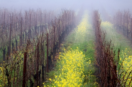 Early morning fog settles over a vineyard in the Napa Valley, California