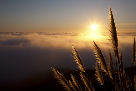 the pampas: Pampas grass  Cortaderia selloana  along the Northern California coastline at sunset with fog over the Pacific Ocean