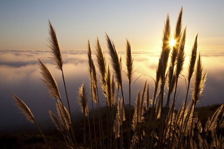 Pampas grass  Cortaderia selloana  along the Northern California coastline at sunset with fog over the Pacific Ocean