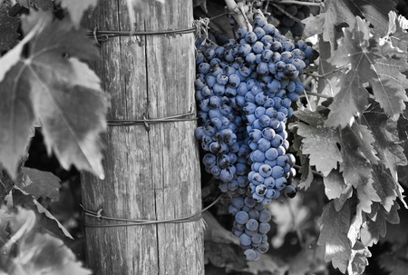 A blend of a black and white and color image of a cluster of California grapes that will be used for winemaking.