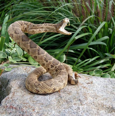 venom: rattle snake on rock