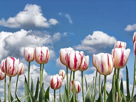 dutch: dutch tulip garden  Stock Photo