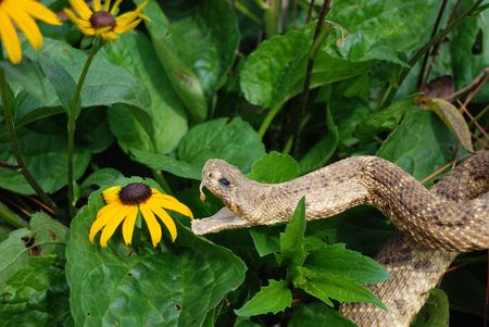 Rattle snake attacking a black-eyed susan. photo