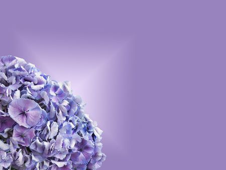 Lavender hydrangea on gradient purple background.