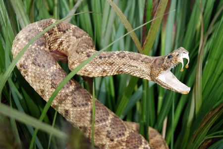 fangs: Sneaky rattle snake in tall grass.