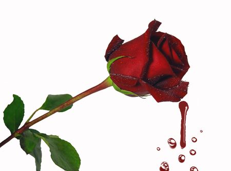 crimson colour: Long-stem rose dripping on white background. Stock Photo