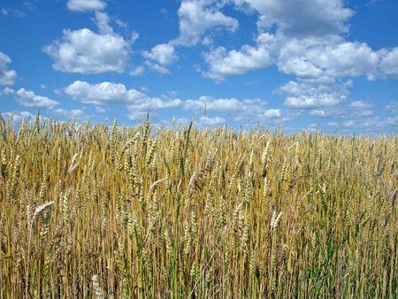 winter wheat:          Winter wheat contrasting with a fun summer sky.