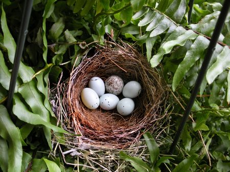 Six little eggs in a purple finch nest.                                Stock Photo
