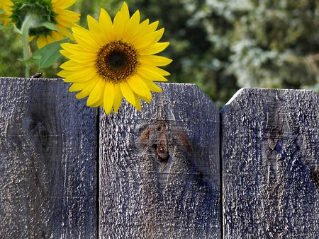 dull: Fly and sunflower on a rustic fence.