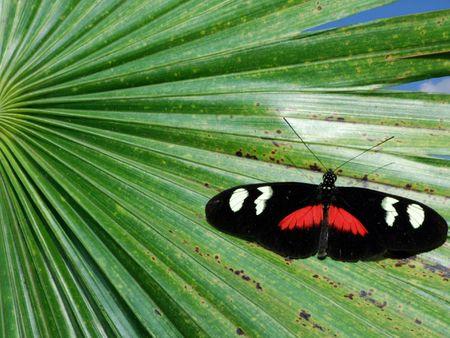 palm frond: Farfalla tropicale su un ramo di palma.