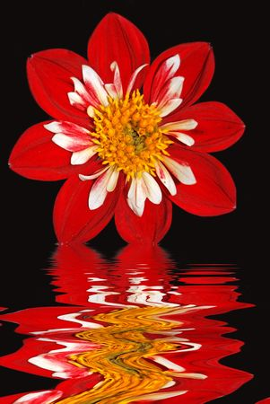 distort: Summer dahlia reflection in rippled water.