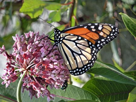 Monarch butterfly on a wildflower.                          photo
