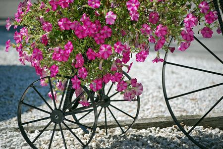 Bright petunias on a vintage tricycle. photo
