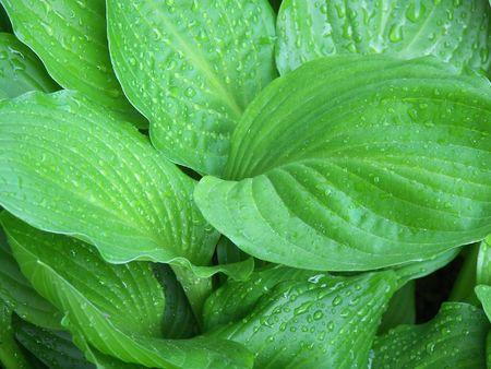 hostas: Water droplets on green hostas leaves. Stock Photo