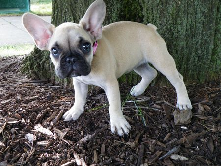 French bulldog pup under a tree. Banco de Imagens