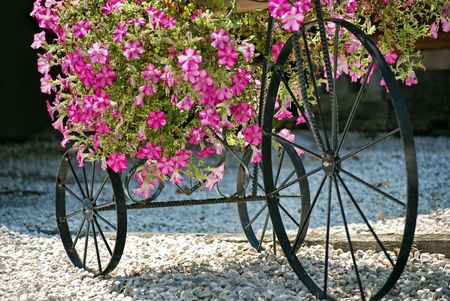 Pink petunias cascading over an antique bicycle. photo