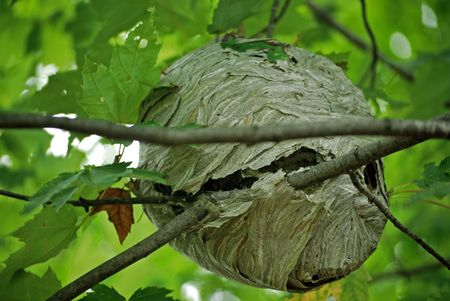 Wasp nest in a maple tree. photo