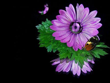 elusive: Butterfly on a purple daisy.
