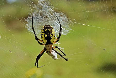 wildllife: Huge spider wrapping its victim.