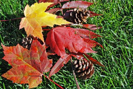 Fall maple leaves and pine cones on grass. photo