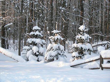Fresh snowfall on pine trees. photo