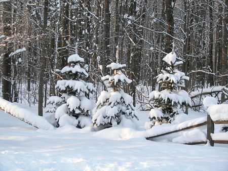 split rail: Fresh snowfall on pine trees.