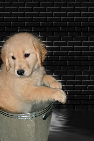 Golden retriever pup in metal tub. photo