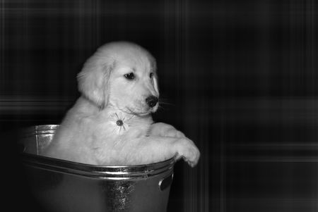 Golden retriever pup in a washtub with a daisy. photo