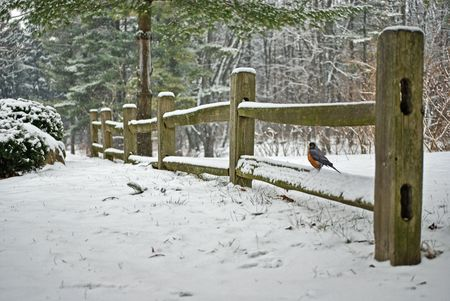 Robin on split rail fence in winter.
