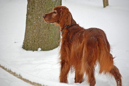 Irish setter in the fresh snow.