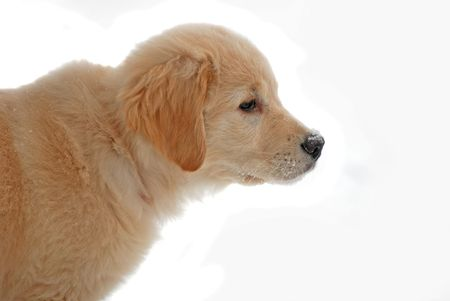 Young golden retriever on white.