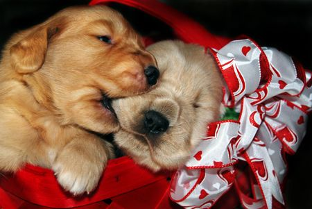 Golden retriever pups in a valentine basket. Stock Photo