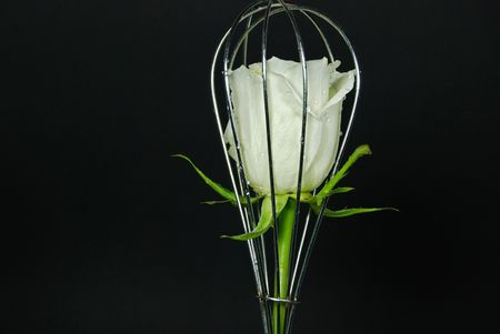 wire whisk: White rose in wire whisk. Stock Photo