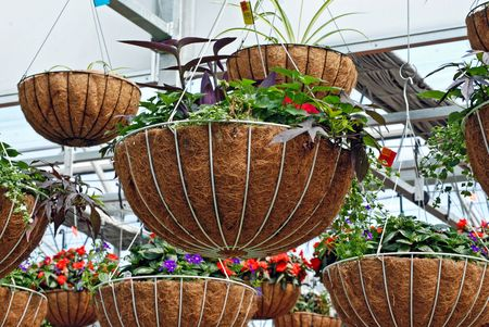 Hanging baskets in a greenhouse. photo