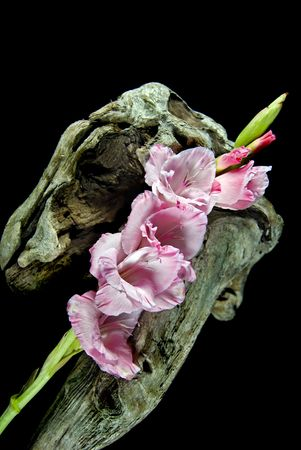 Pink gladiola stalk on driftwood. photo