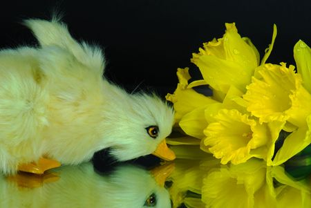 miror: Cute duckling and daffodils reflected in a miror.