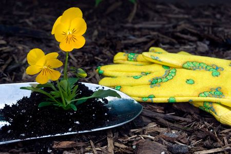 Gardening gloves with fun pansies in a shovel.