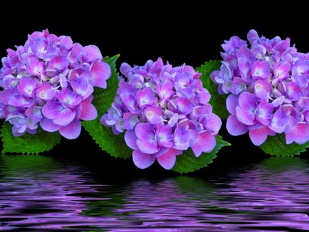 Purple hydrangeas in flood effect.