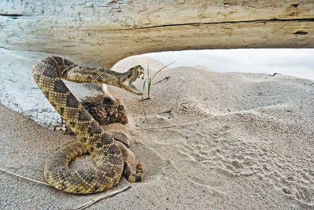 sonajero: Un sonajero de serpiente que se plantean a la huelga por un antiguo registro en la arena.