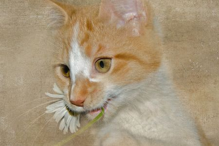 Gold tabby kitten chewing on a daisy. Stock Photo - 5135427