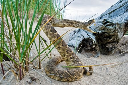 grass snake: Rattle snake in sand pose to strike.