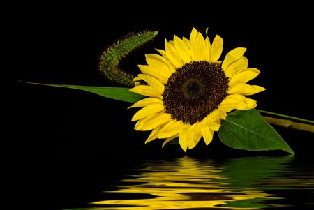 Sunflower reflection on a black background. Stock Photo