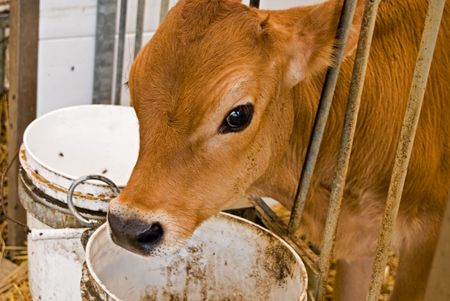 Jersey calf in stall.