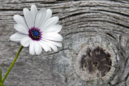 Pretty daisy on old barn wood. Stock Photo