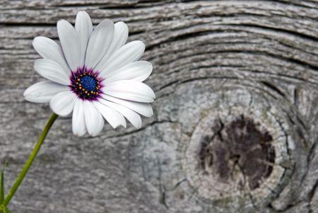 Pretty daisy on old barn wood. photo