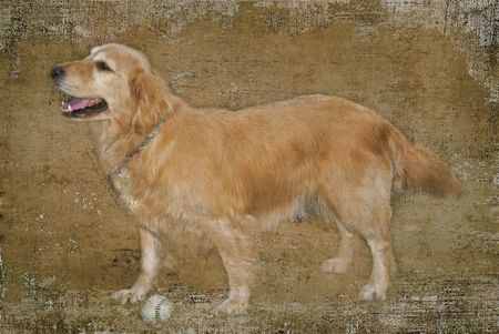 Golden retriever with old baseball in texture.